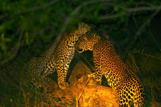 Naledi Bushcamp and Enkoveni Camp: Leopard siblings
