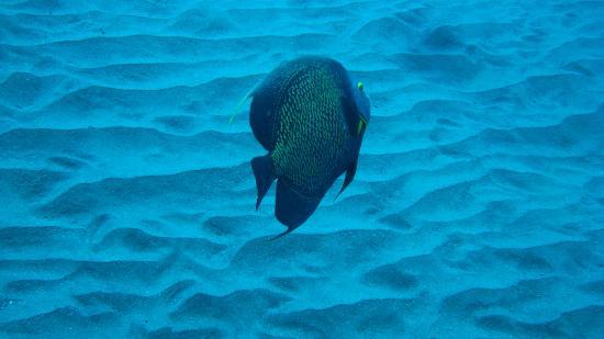 Saba Divers: French Angelfish
