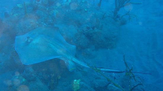 Saba Divers: Ray