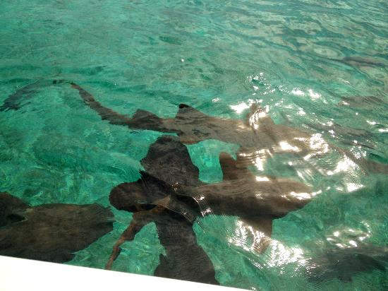 Matachica Resort & Spa: Shark ray alley.. swimming with nurse sharks!