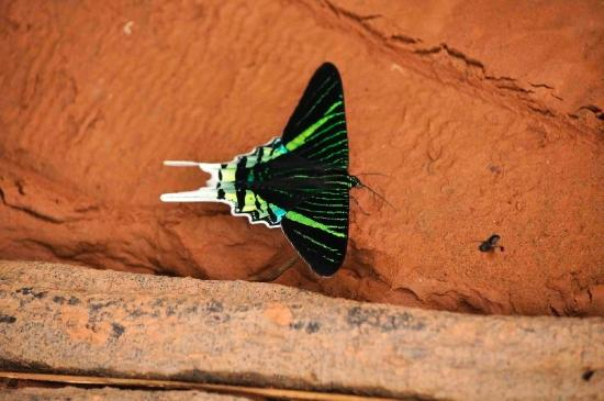 Madidi Jungle Ecolodge: Butterfly