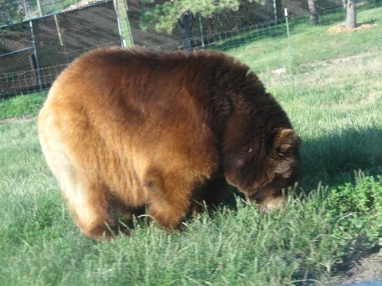 Bear Country USA: brown bear