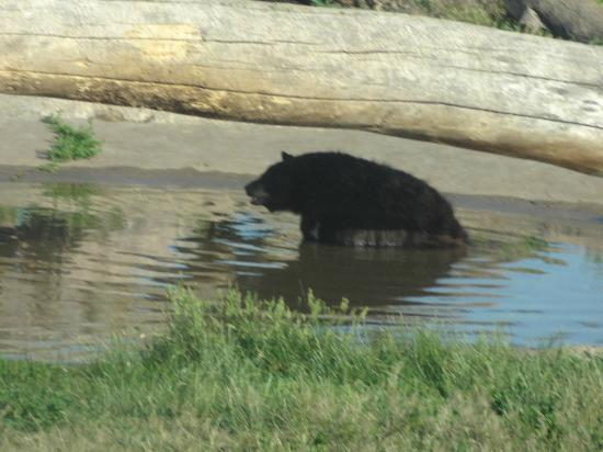 Bear Country USA: Black bear cooling in the pond