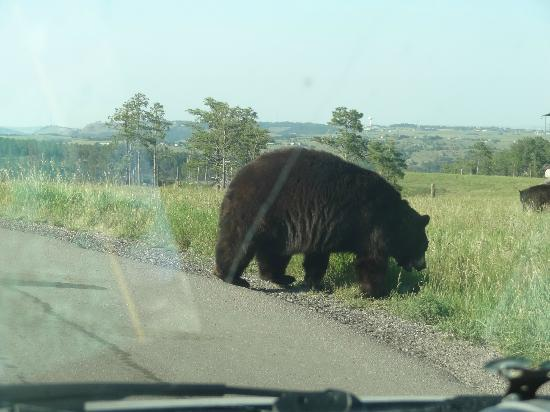 Bear Country USA: black bear right at road