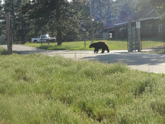 "Bear Country USA: ""gaurd bear"" he just walked back and forth across the gate"