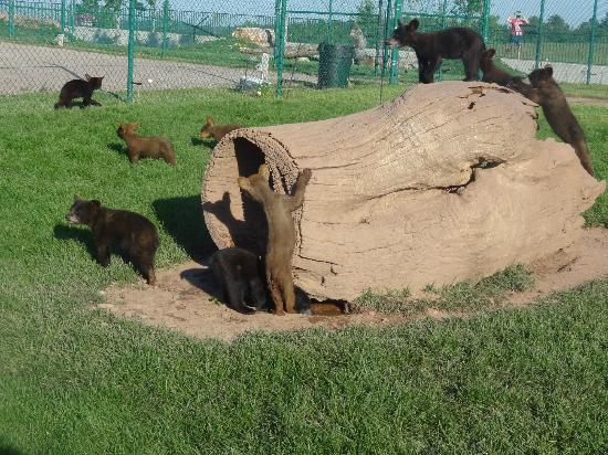Bear Country USA: baby bears playing