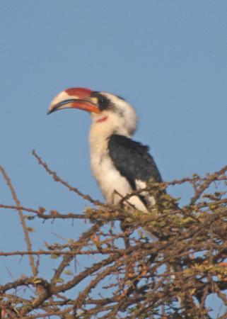 Porini Amboseli Camp: Von der Decken's Hornbill - male