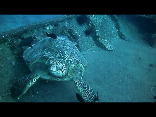 Alex's Aquatic Adventures: sea turtle hanging out on the wreck