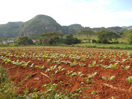 Villa Jorge y Ana Luisa: campi di tabacco