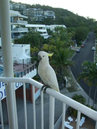 at Whitsunday Vista Resort: Local Cockatoo