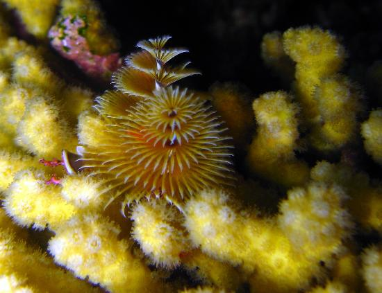 Splash Inn Dive Resort: Christmas Tree Worm