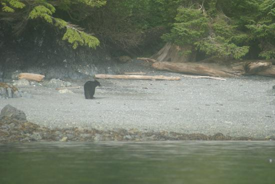 Out For Adventure Kayak Instruction 101: Black bear on the next beach....