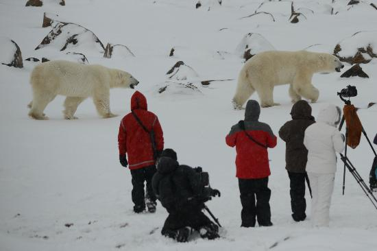 Seal River Heritage Lodge: Taken from viewing platform as polar bears walk past our group