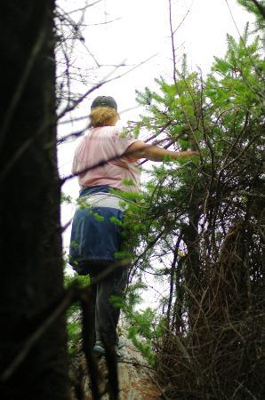 Mendo Insider Tours : Alisa - walking out onto the Redwood log to look at the Osprey nest.