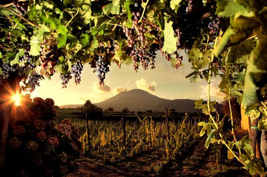 Boscotrecase, Italy: Vesuvio from Sorrentino's vineyards