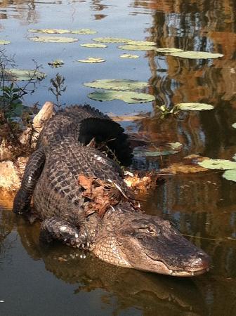 Champagne's Cajun Swamp Tours: Monster Gators/Champagnes SwampTours