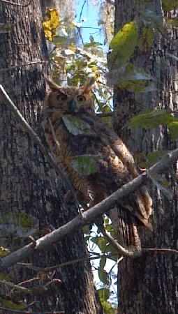 Champagne's Cajun Swamp Tours: Great Horned Owl