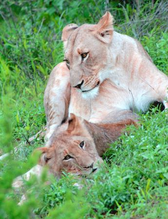 Garonga Safari Camp: Lovely shot of a Lioness and her cub