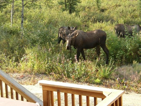Denali Touch Of Wilderness Bed and Breakfast Inn: Moose Gathering