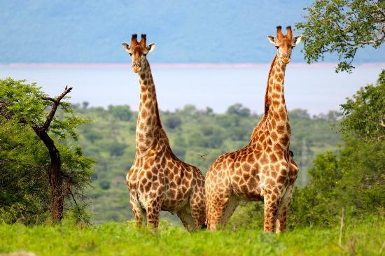 Esikhotheni Lodge : Giraffes at Pongola Game Reserve