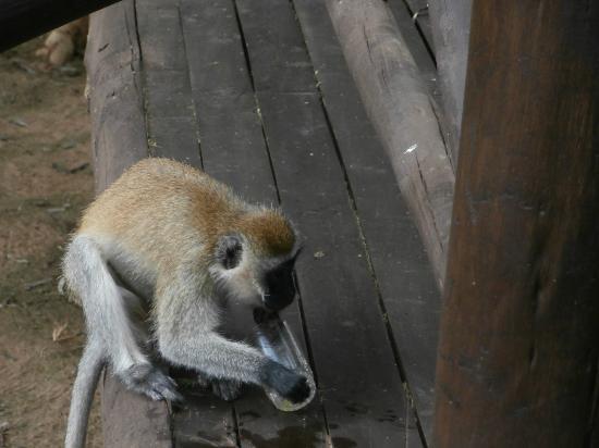 Samburu Intrepids Luxury Tented Camp: Cheeky Monkey