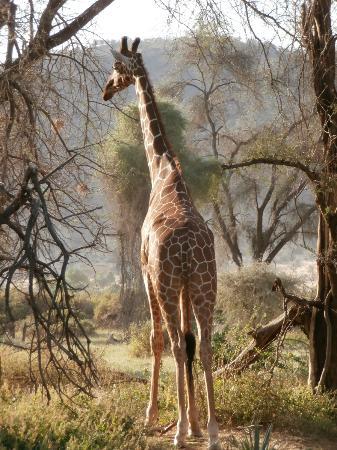 Samburu Intrepids Luxury Tented Camp: Out on safari