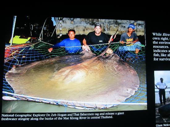Stingray Picture Of Tennessee Aquarium Chattanooga