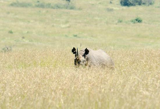 Olakira Camp, Asilia Africa: Endangered rhino sighting