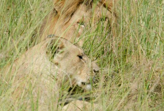 Olakira Camp, Asilia Africa : Lions