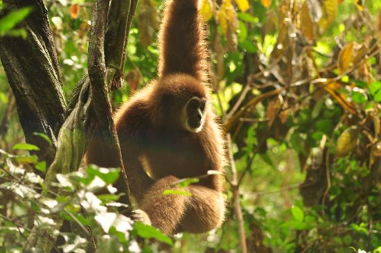Gibbon Rehabilitation Project: Jorn in the forest