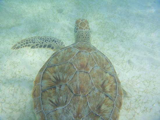 Barcelo Maya Caribe: Sea turtle!
