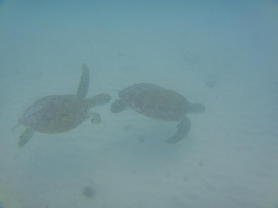 Barcelo Maya Caribe: Sea Turtles!!