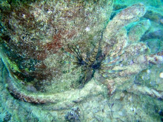 Barcelo Maya Caribe: Lionfish