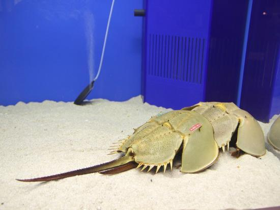 Hourseshoe Crab Museum: カブトガニ