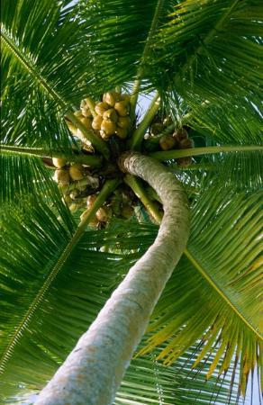 Coco Palace Resort: Palm tree coconut