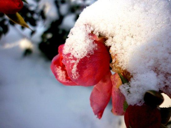 Palais et Parc Catherine: Розы в снегу