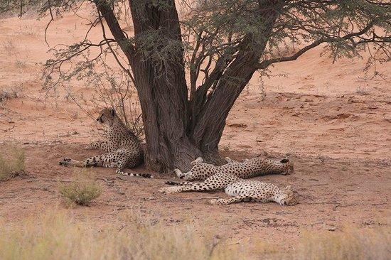 Transgraniczny Park Narodowy Kgalagadi: Cheetahs lazying mid-day