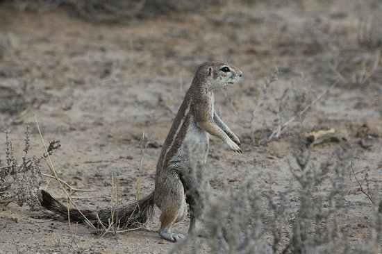 Transgraniczny Park Narodowy Kgalagadi: Cape Ground Squirrel