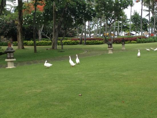 INTERCONTINENTAL Bali Resort: Some ducks