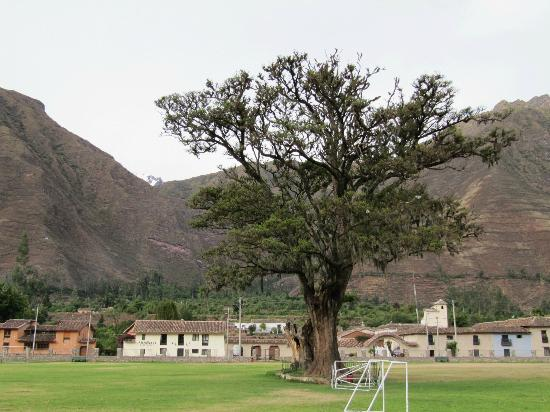Hotel La Casona De Yucay Valle Sagrado: Pisonay tree across the street