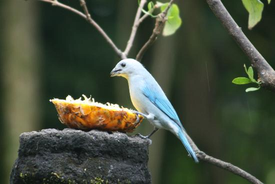 Boquete Garden Inn: Birdwatching while breakfast