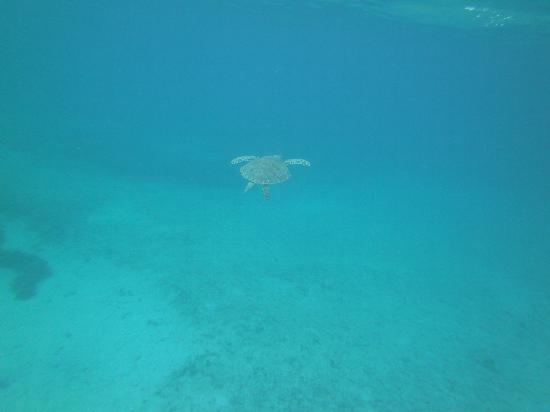 Palmetto Guesthouse: Green Sea Turtle, taken while snorkeling at Tamarindo
