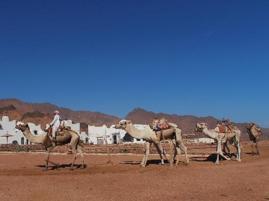 Daniela Village Dahab: camels path