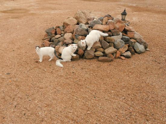 Daniela Village Dahab: white house cats
