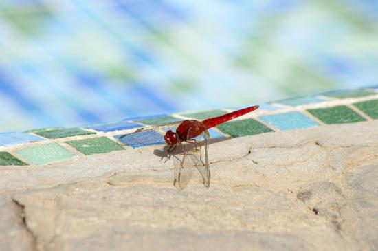 Dragonfly enjoying a bit of poolside relaxation.