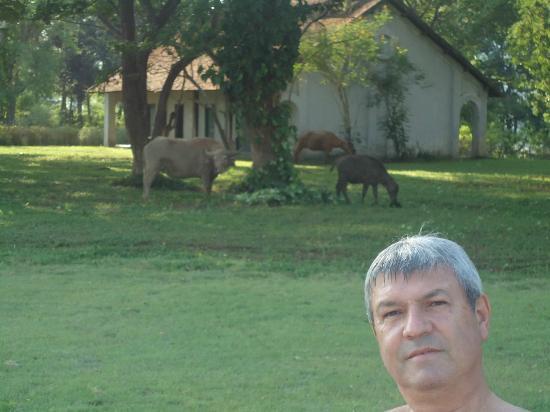 The Grand Luang Prabang Hotel & Resort: En la pileta. Alfondo se ven los búfalos