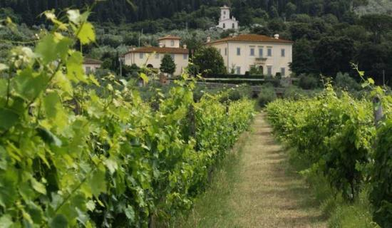 Fattoria di Sommaia : from the vineyard