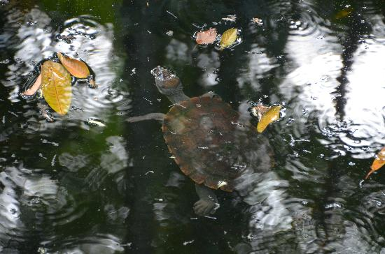 Daintree EcoLodge & Spa: The resident turtle