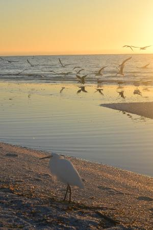 Tortuga Beach Club Resort: Skimmer colony at sunrise