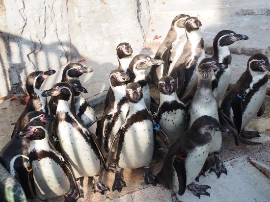 Hamura Zoo: ペンギン